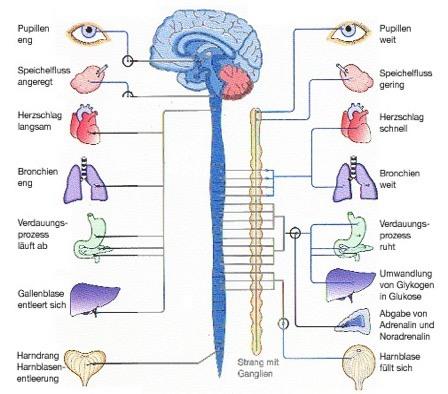Maßgeblich an Stress-Symptomen beteiligt ist das vegetative (unwillkürliche) Nervensystem. Dazu gehören das ENS (Enterisches Nerven System) sowie der Sympathikus und Parasympathikus. Diese Systeme sind eng miteinander verbunden. Dabei agieren Sympathikus und Parasympathikus als Antagonisten, also gegensätzliche Kräfte, regulieren aber auch die Wirkung des anderen.