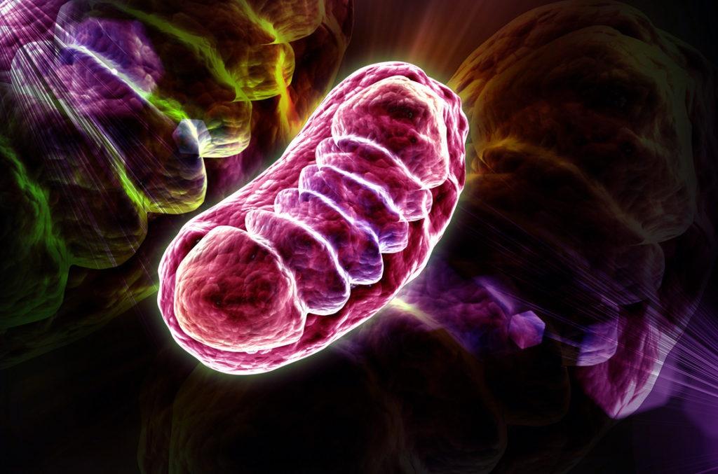 Mitochondrien sind die Kraftwerke unserer Zellen und somit unseres ganzen Körpers. Diese müssen wir aktivieren, um chronische Erschöpfungssyndrom Symptome zu überwinden.