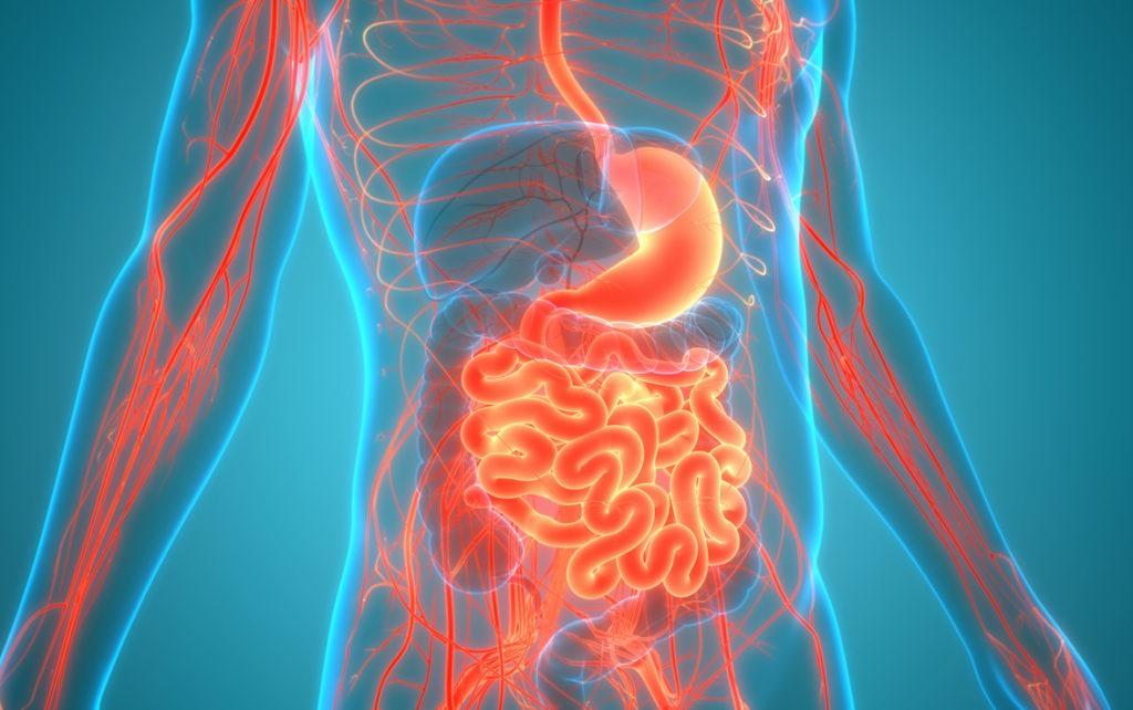 Der Kreislauf zwischen Darm und Leber spielt eine große Rolle beim PCOS.