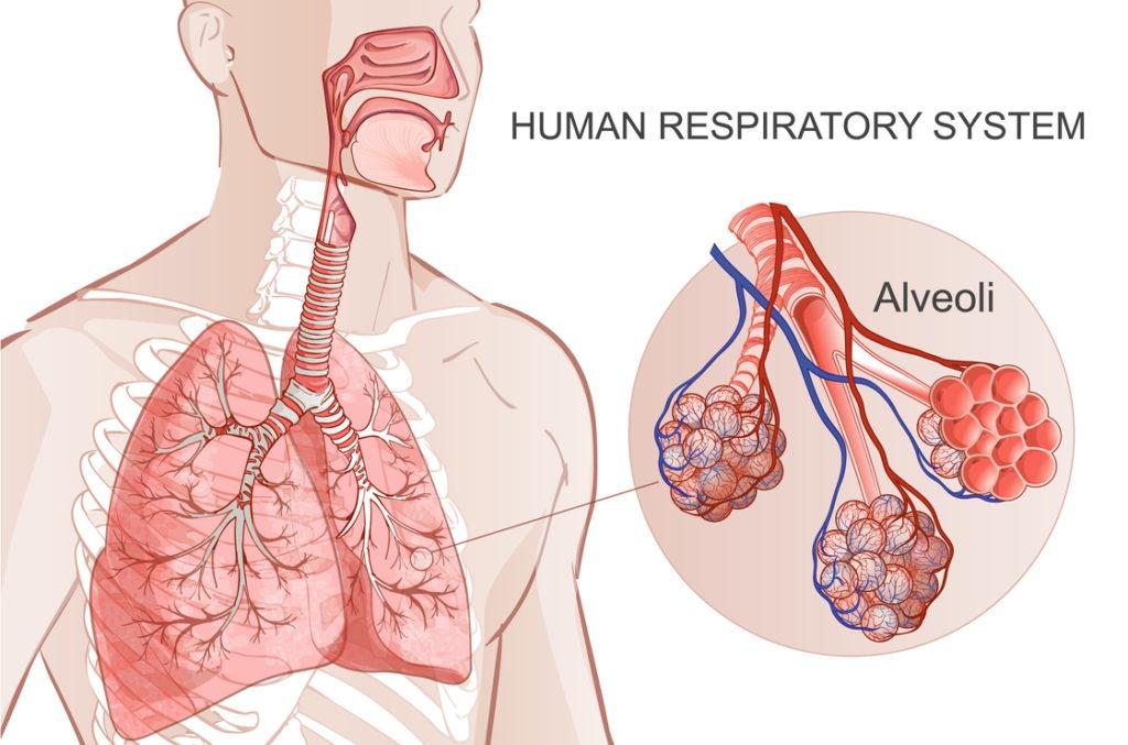 ein anatomischer Einblick in Asthma Bronchiale