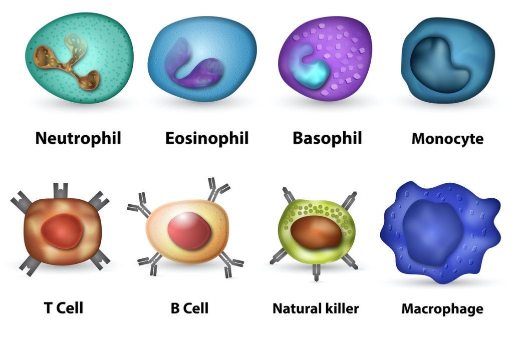 Verschiedene Immunzellen des Darms