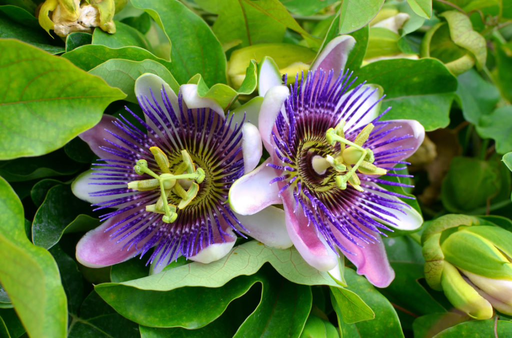 Eine weitere Pflanze mit ausgezeichneter Wirkung auf die Schlafqualität ist die Passionsblume (Passiflora incarnata). Sie wirkt bei nervöser Unruhe und Einschlafproblemen. Das liegt auch an ihrem positiven Einfluss auf den Neurotransmitter Gamma-Aminobuttersäure (GABA).